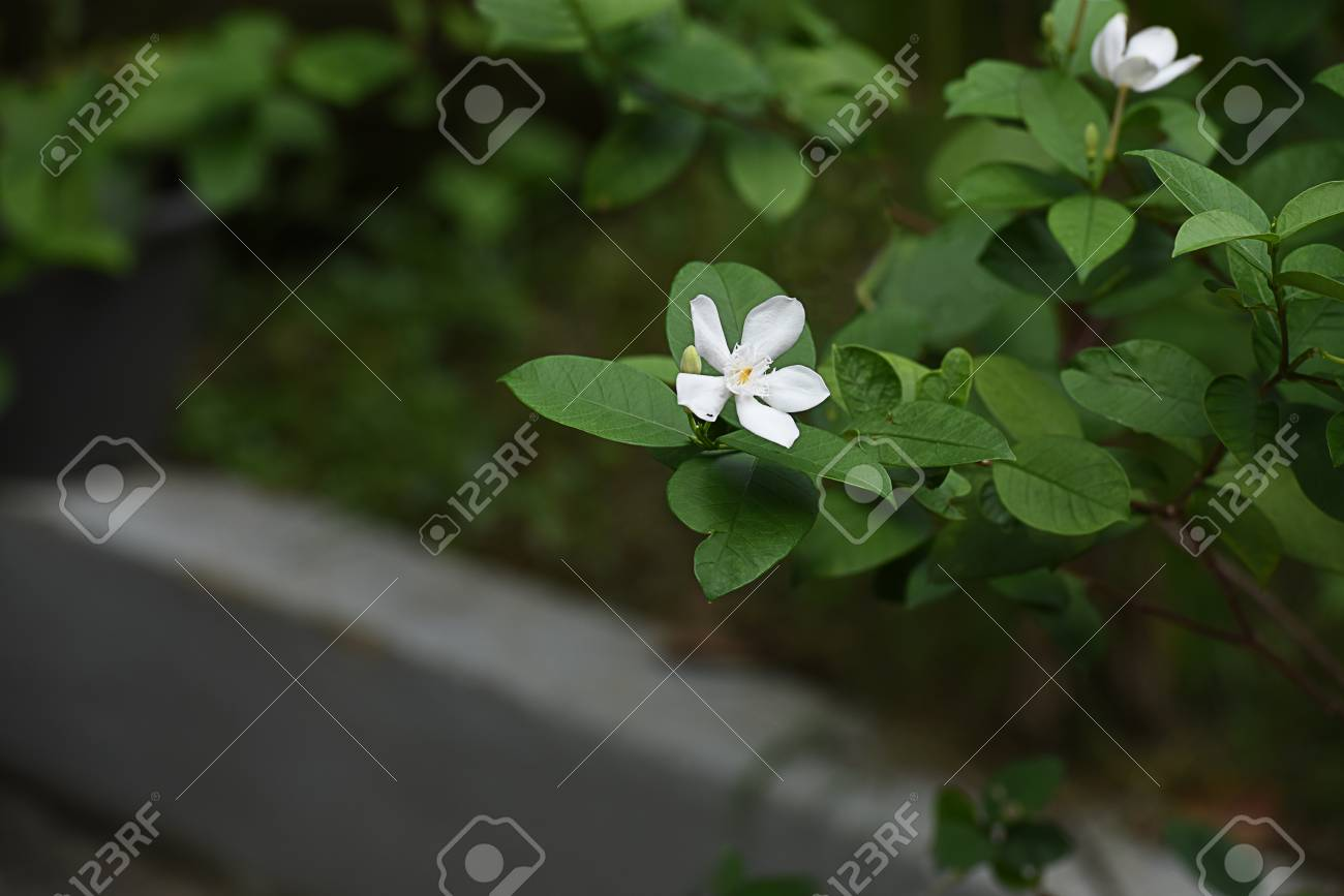 The tropical shrub that produces white star shaped flowers non stock photo the tropical shrub that produces white star shaped flowers non stop throughout the year mightylinksfo