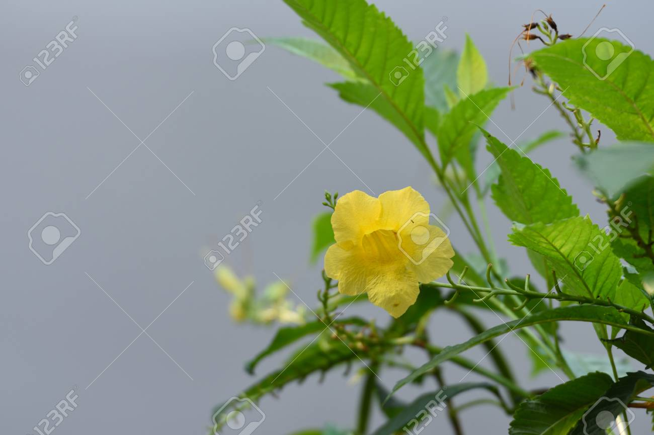 The Attractive Plant With A Golden Yellow Trumpet Shaped Flower
