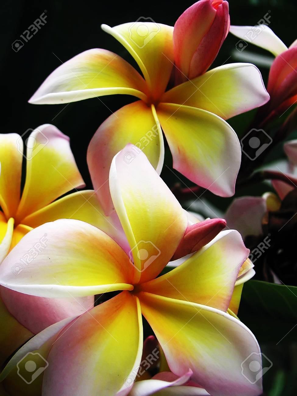 Lan Thom flower Stock Photo - 14438124
