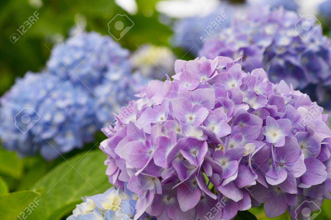 Beautiful blooming blue and purple Hydrangea or Hortensia flowers (Hydrangea macrophylla) under the sunlight on blur background in summer. Natural background. - 132015661