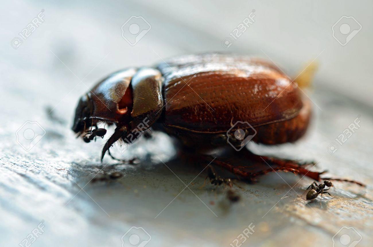 Christmas Beetle.Black Ants Are Eating A Christmas Beetle