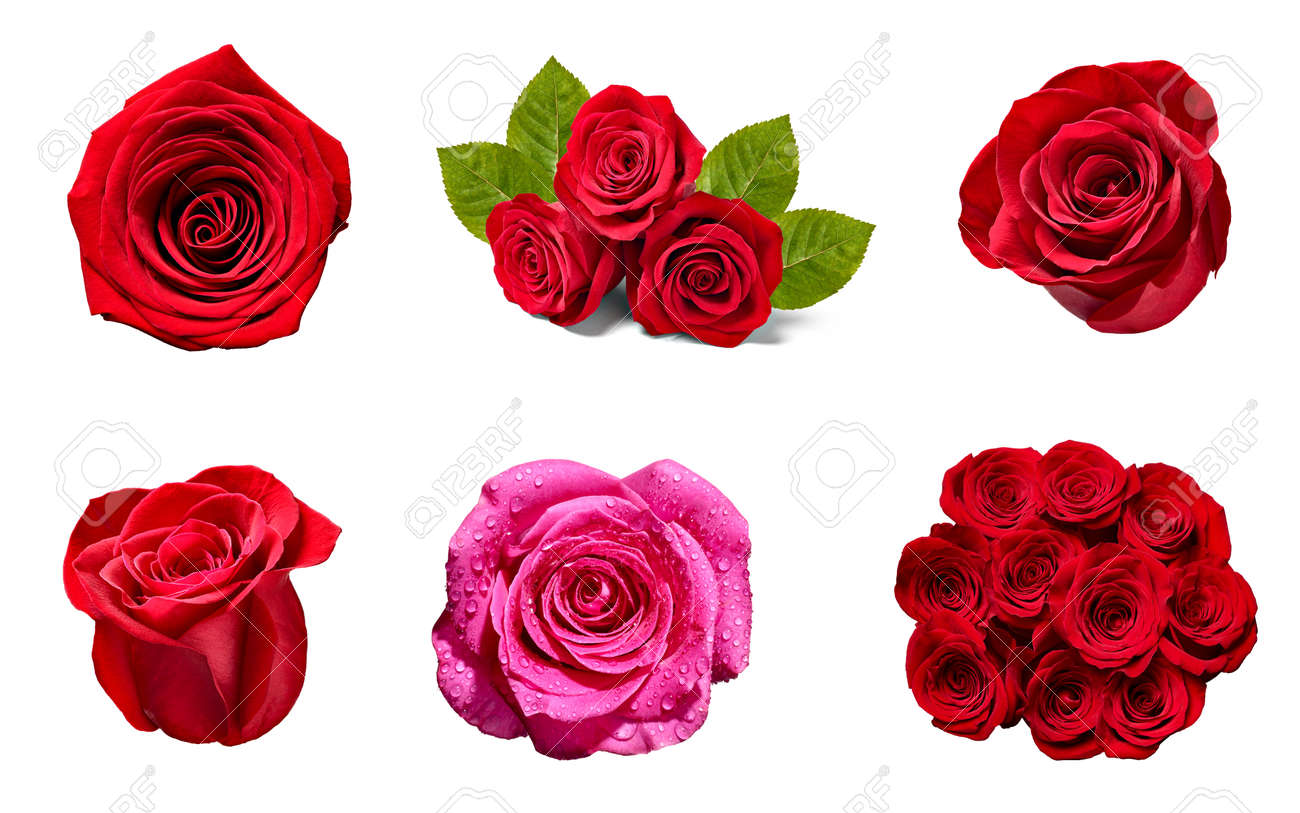 collection of various roses on white background. - 121566645