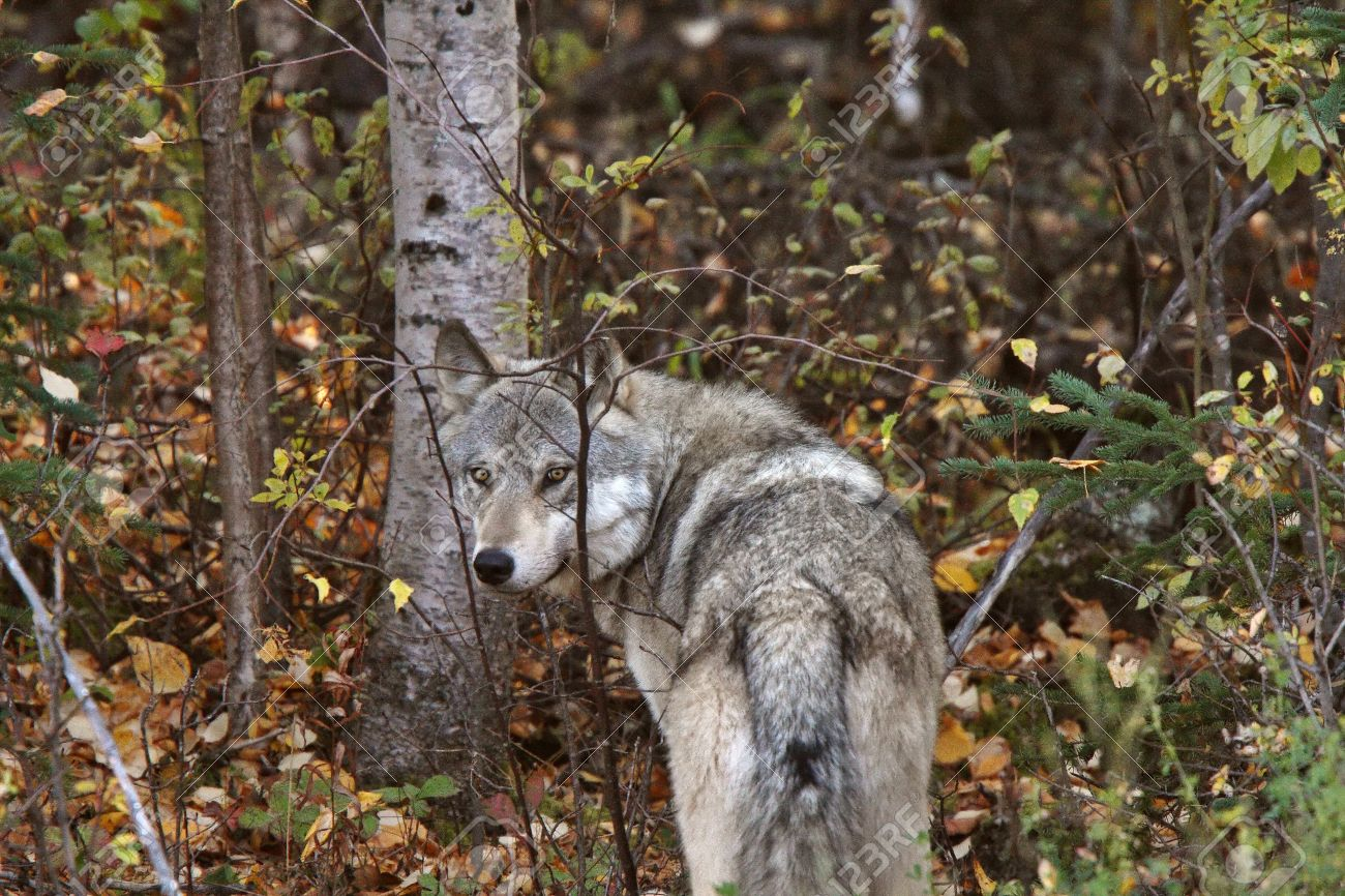 Cathy es atacada a su llegada - Carretera      8385515-Gray-Wolf-along-forest-edge-in-British-Columbia-Stock-Photo-wolf-wolves