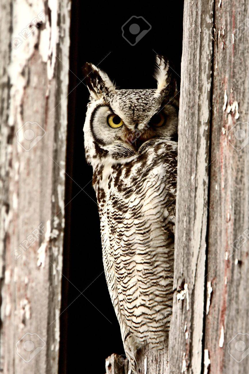 Great Horned Owl perched in barn window Stock Photo - 8425860