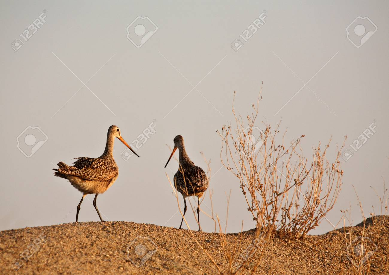 Two Marbled Godwin on sand hill Stock Photo - 8442088