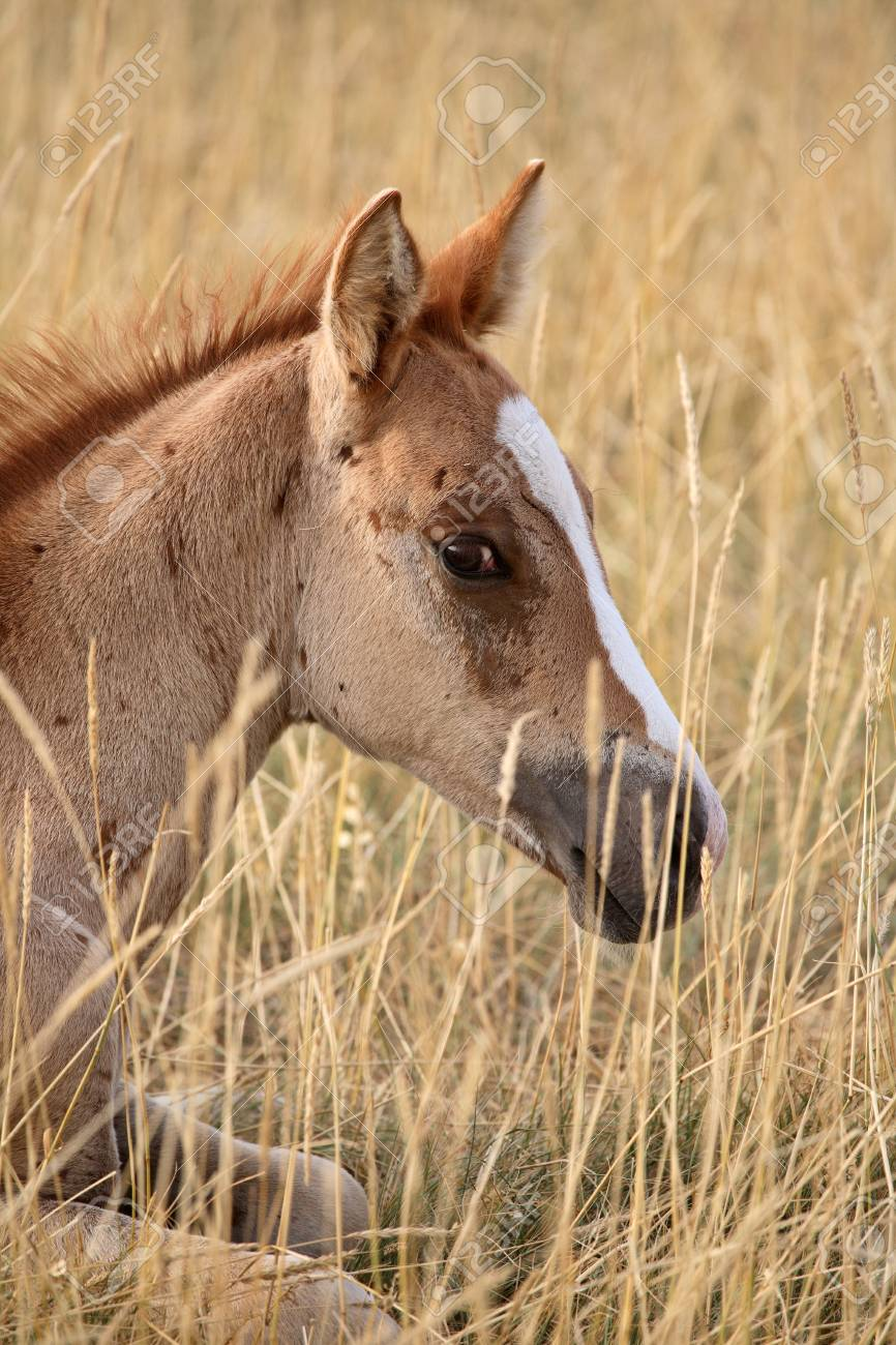 Foal resting in a Saskatchewan pasture Stock Photo - 8458953