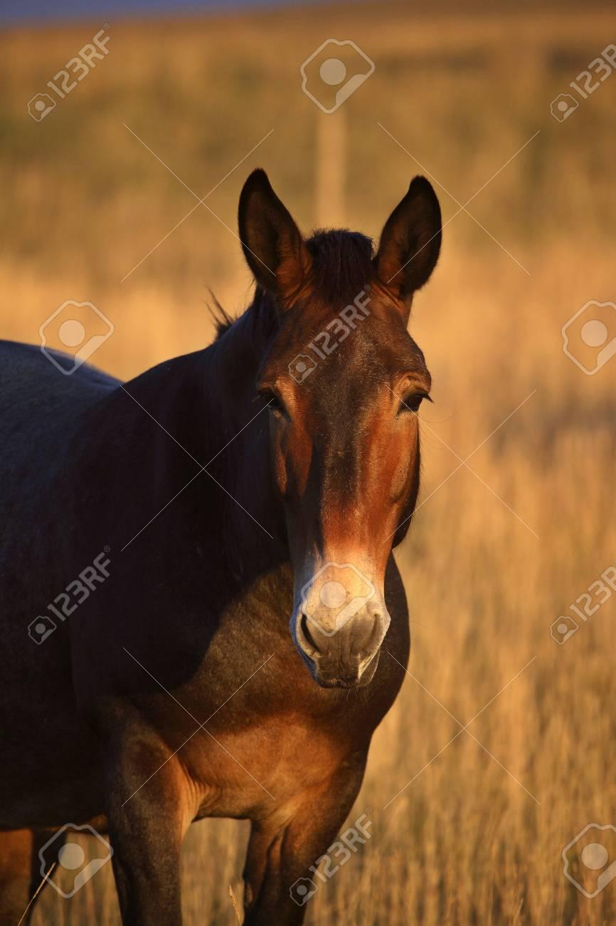 A mule in an Alberta pasture Stock Photo - 8466626