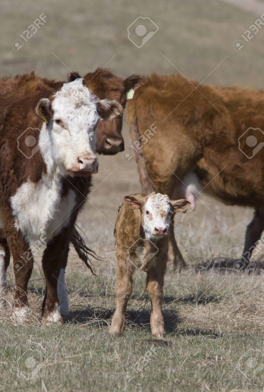 Newborn Calf and cows in field Canada Stock Photo - 9537123