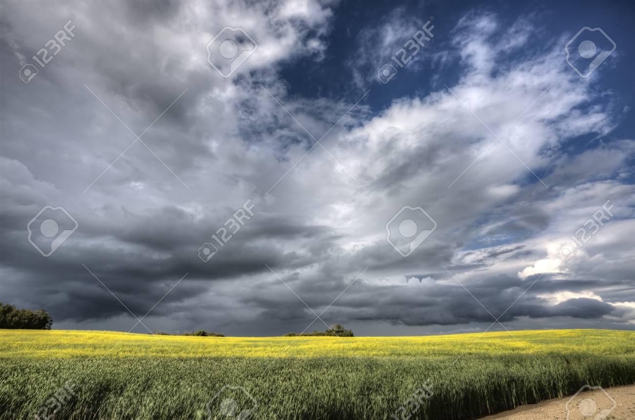 Storm Clouds Saskatchewan Canola field yellow color Stock Photo - 16229198