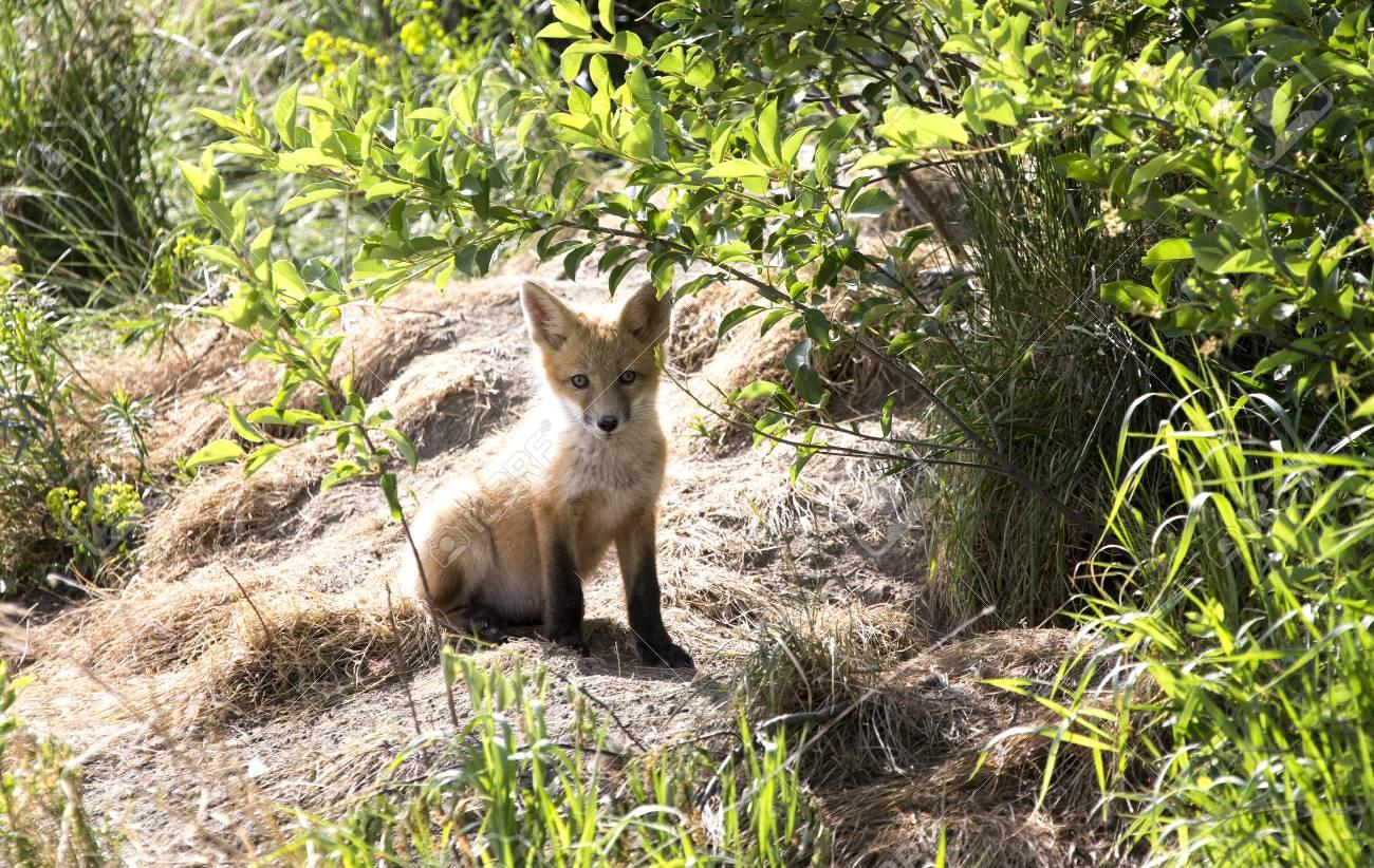 Fox Kit cub standing at den Canada