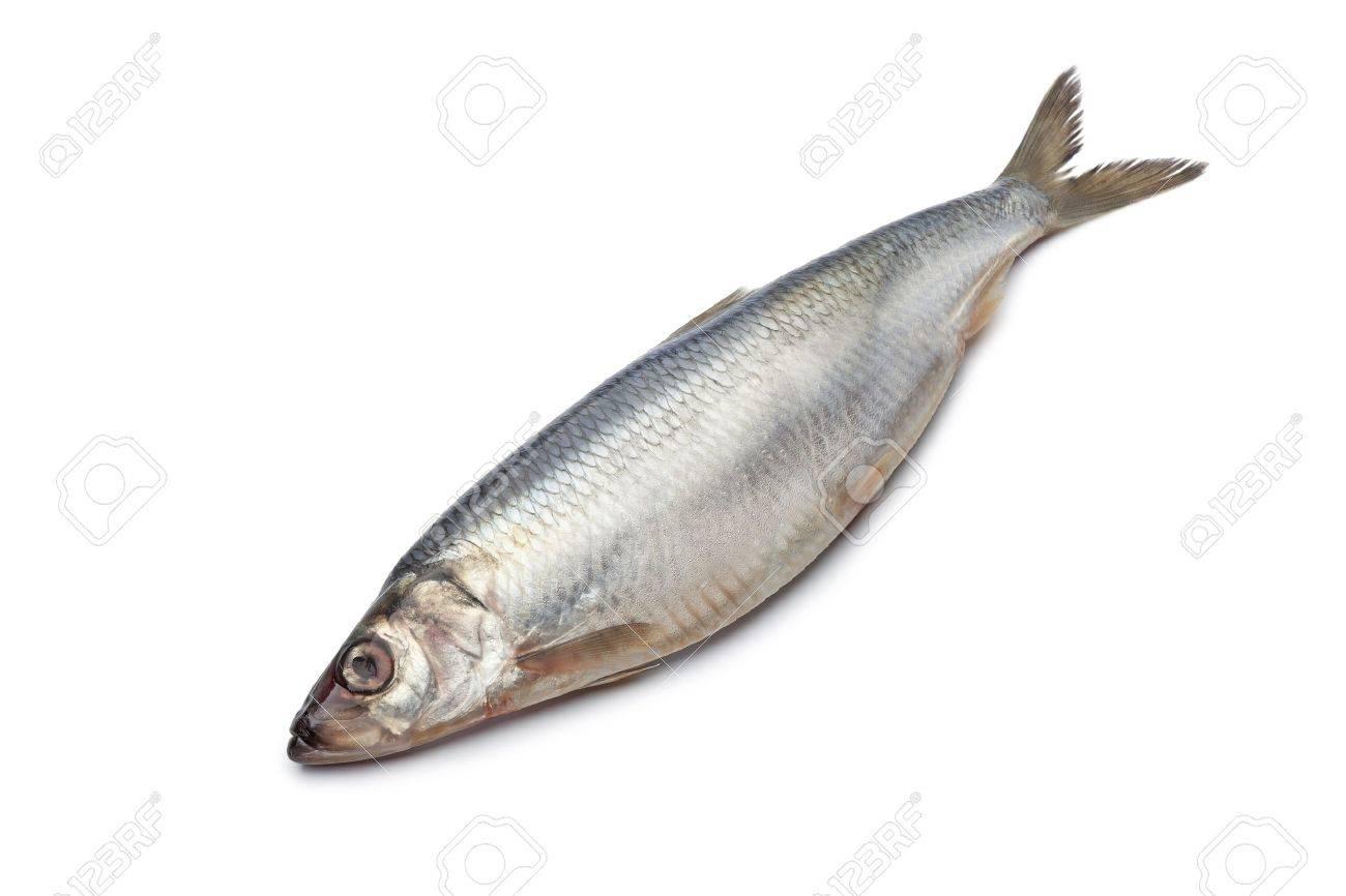 Whole single fresh raw herring isolated on white background Stock Photo - 9400518