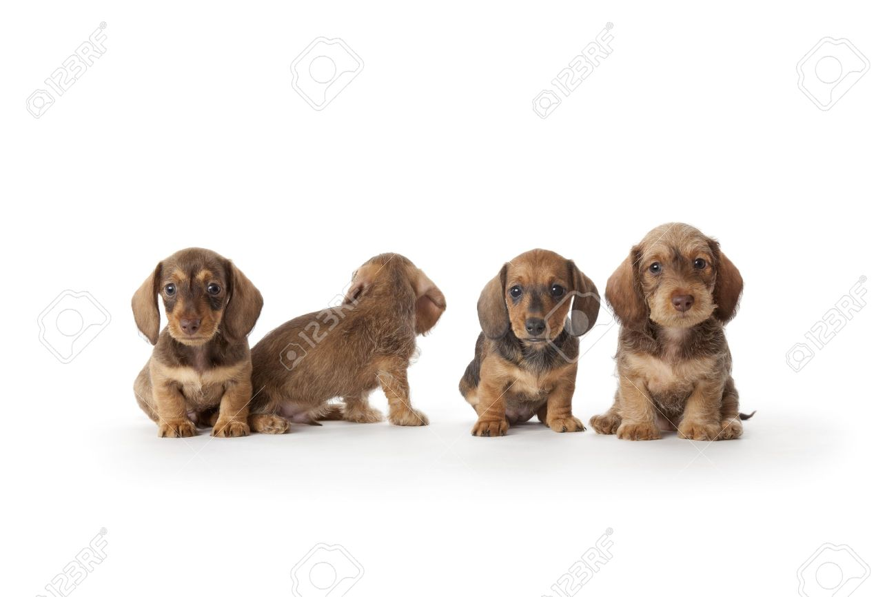 Four Wire-haired Dachshund Puppies Stock Photo, Picture And Royalty ...