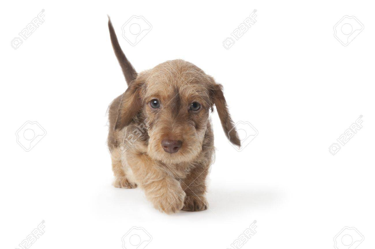 Walking Wire-haired Dachshund Puppy Stock Photo, Picture And Royalty ...