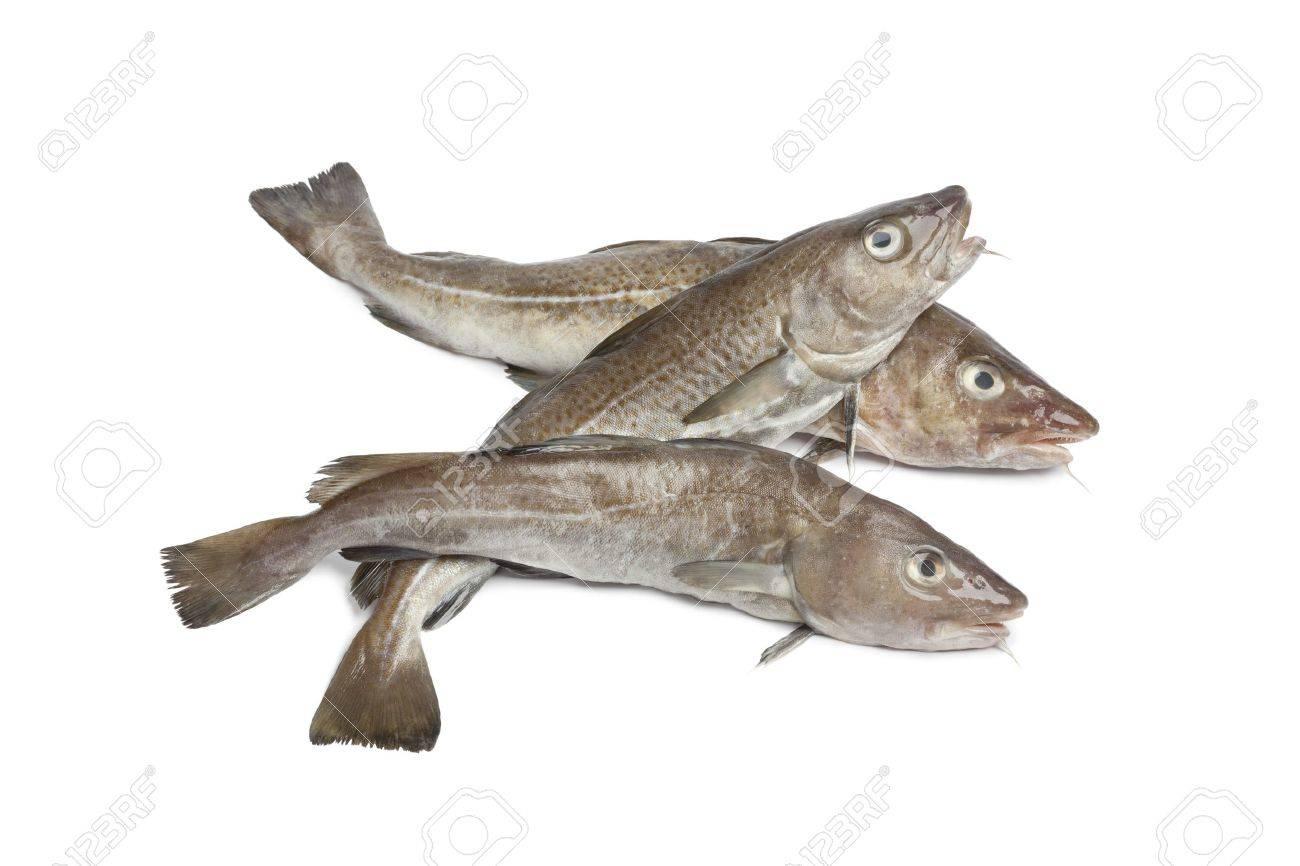 Fresh atlantic cod fishes on white background - 12793426