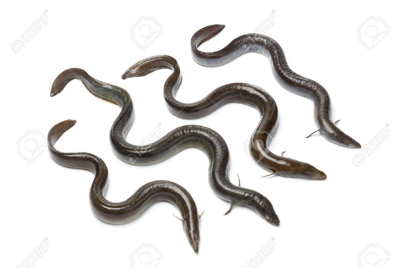 Fresh European eel on white background - 13598100