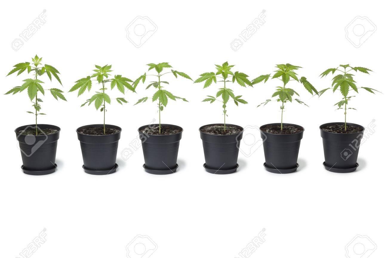 Row of Marijuana plants in plastic pot on white background - 13827762