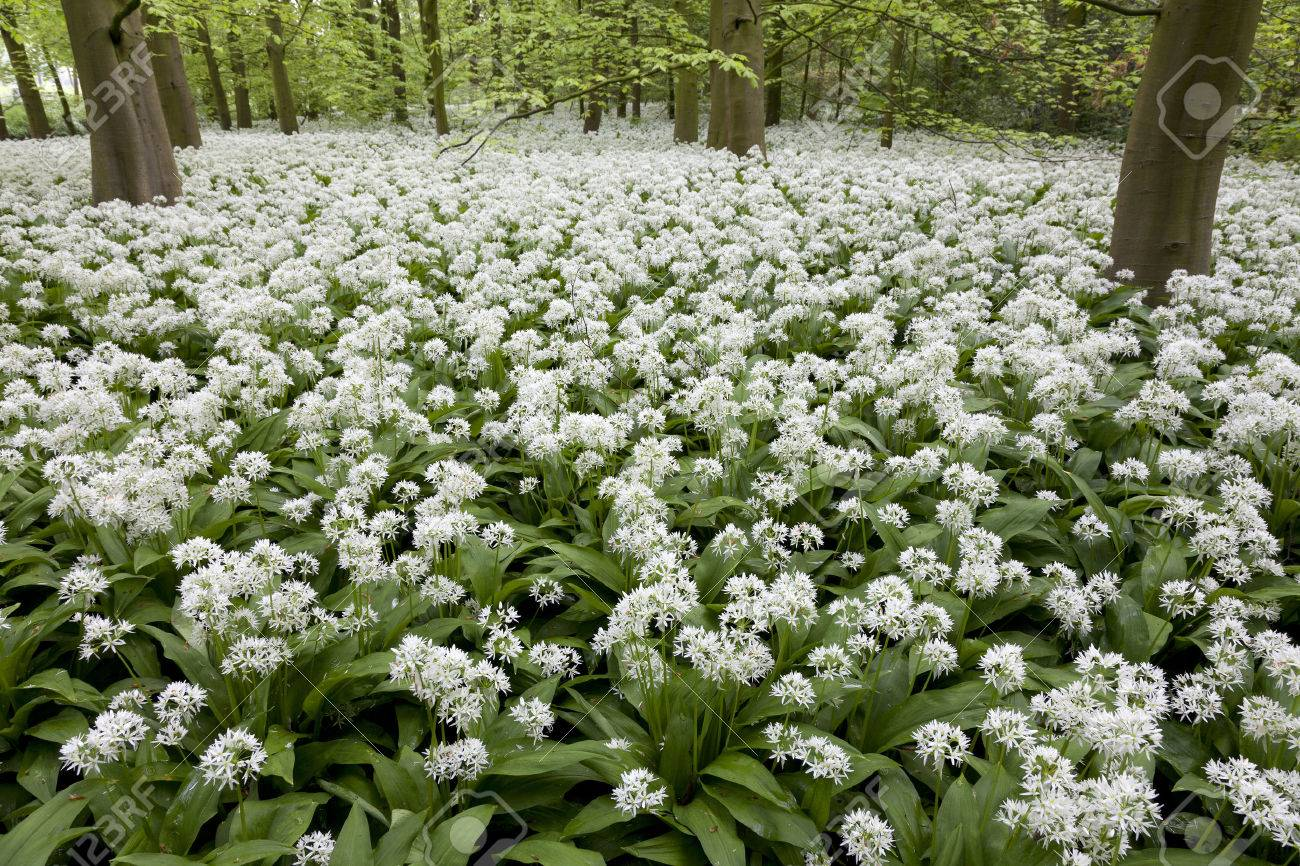 Field Of White Flowering Ransoms In Springtime Stock Photo Picture