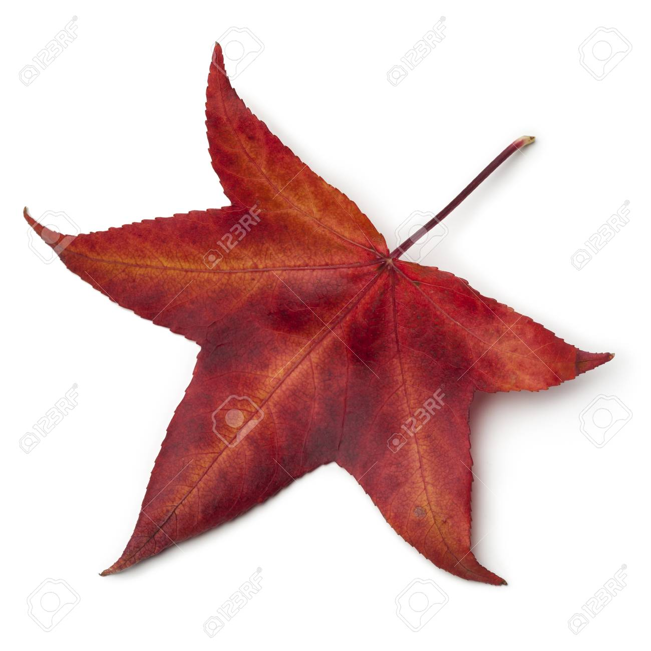 Red Autumn Leaf Of An American Sweetgum Tree On White Background Stock Photo Picture And Royalty Free Image Image 90182778