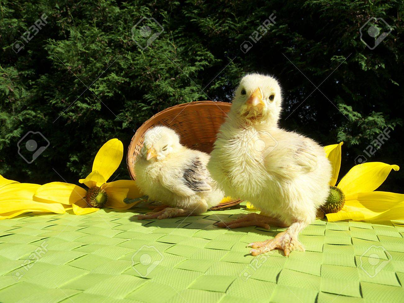 chicken Stock Photo - 9311538
