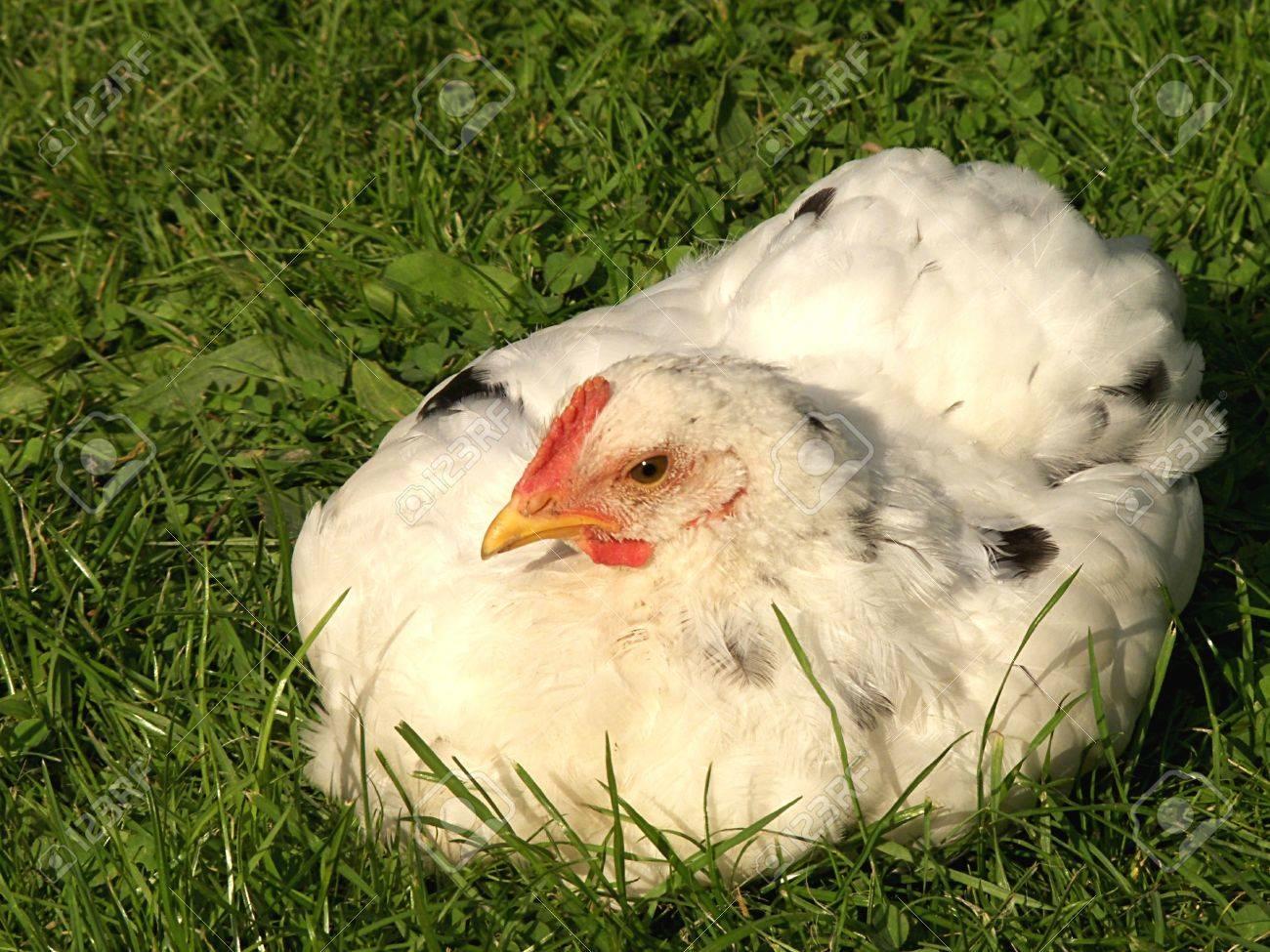 chicken Stock Photo - 9311549