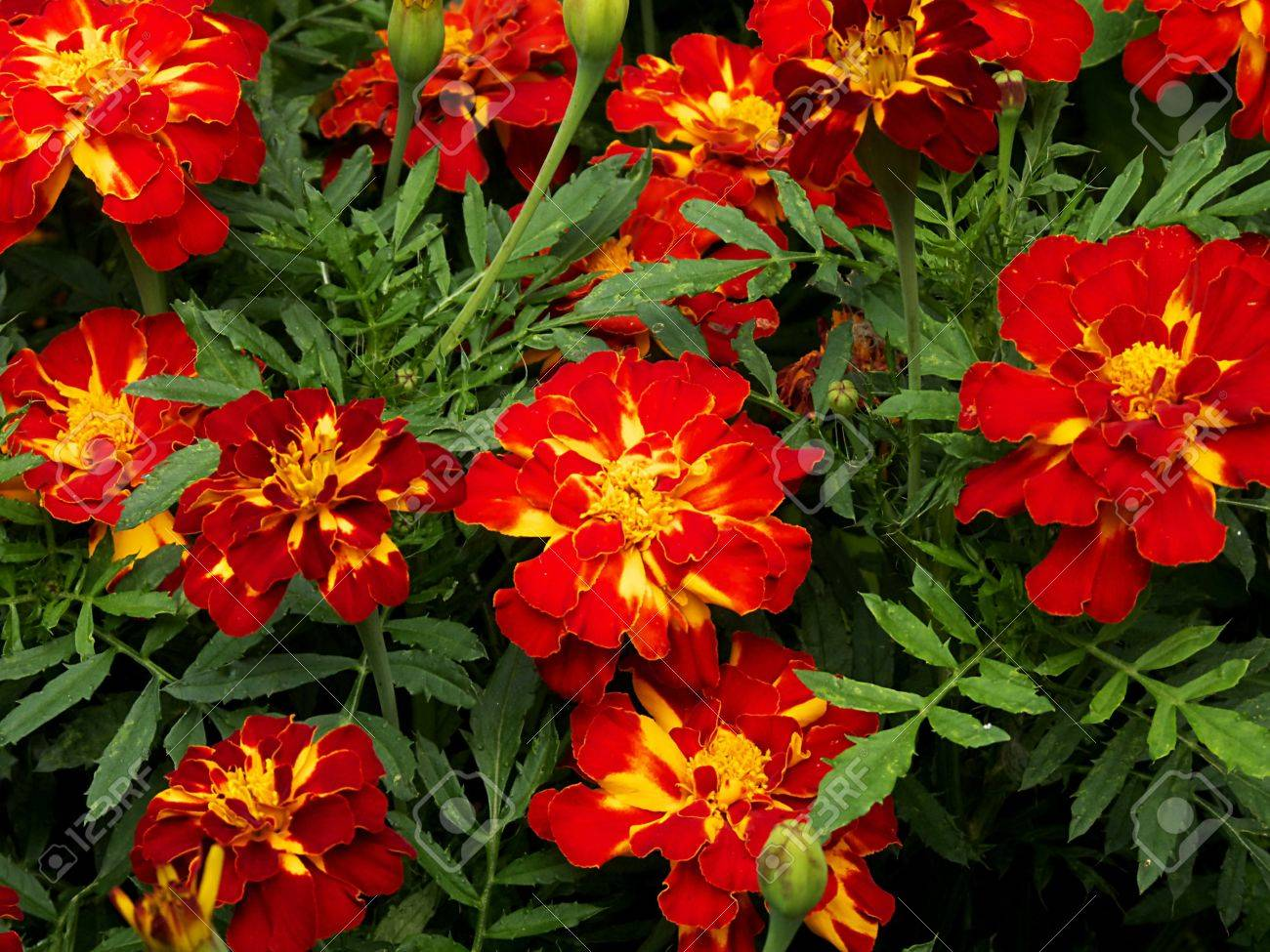 Tagetes a popular balcony / beet plant which blooms all summer Stock Photo - 10479260