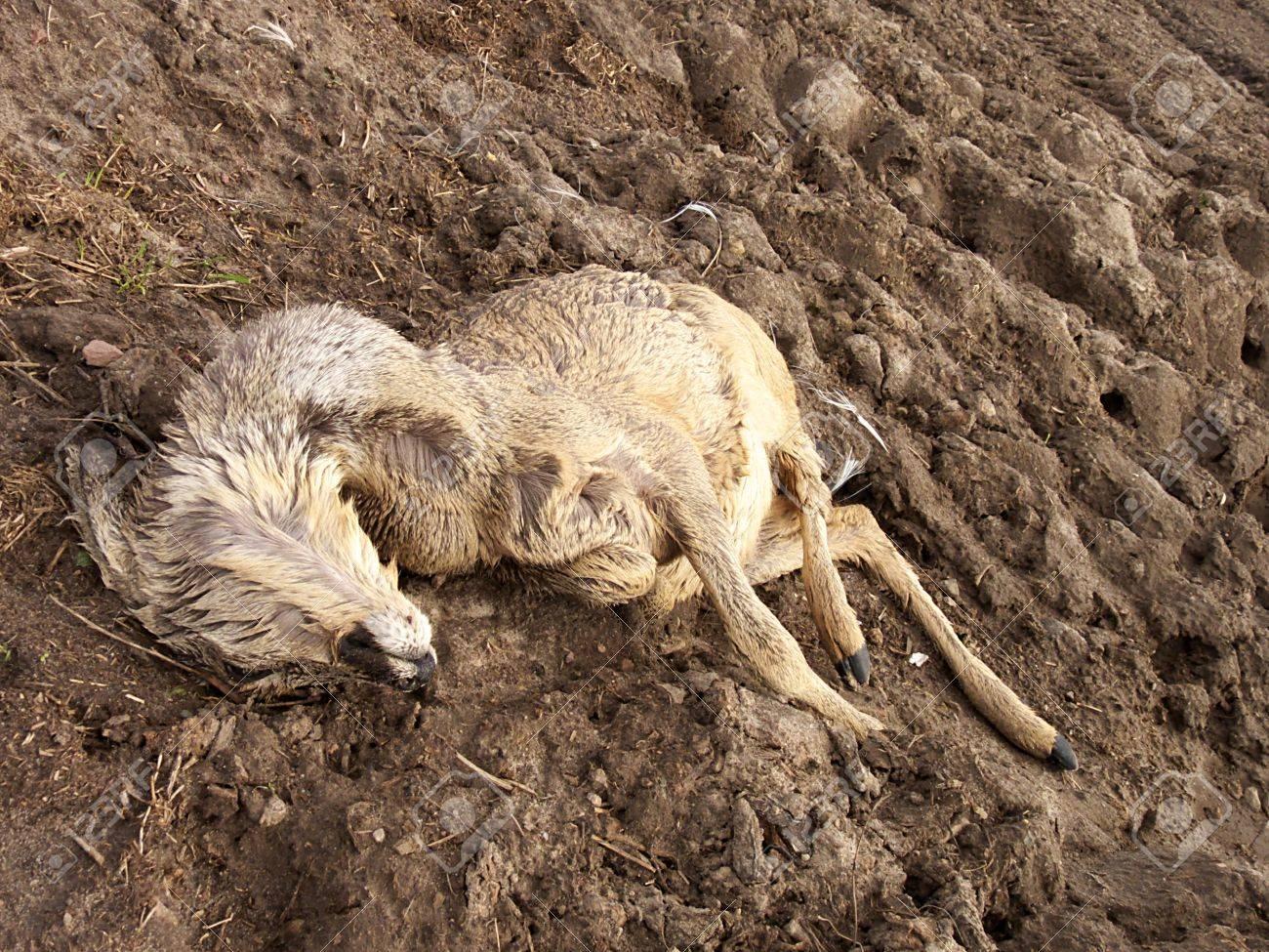 dead deer wildlife Stock Photo - 12054806