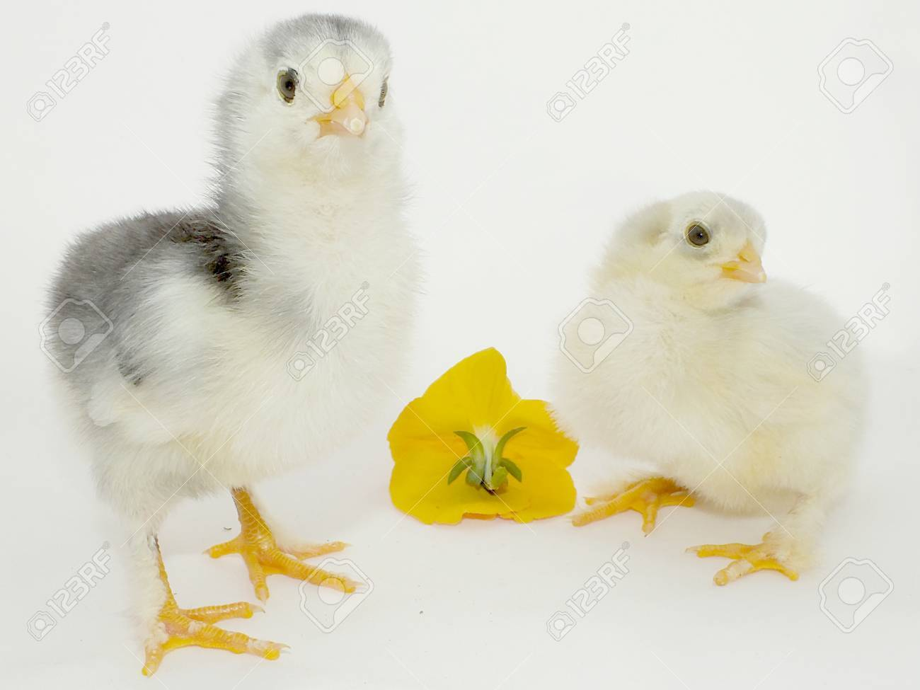 new born cute, fluffy little chicken chick Stock Photo - 13623509