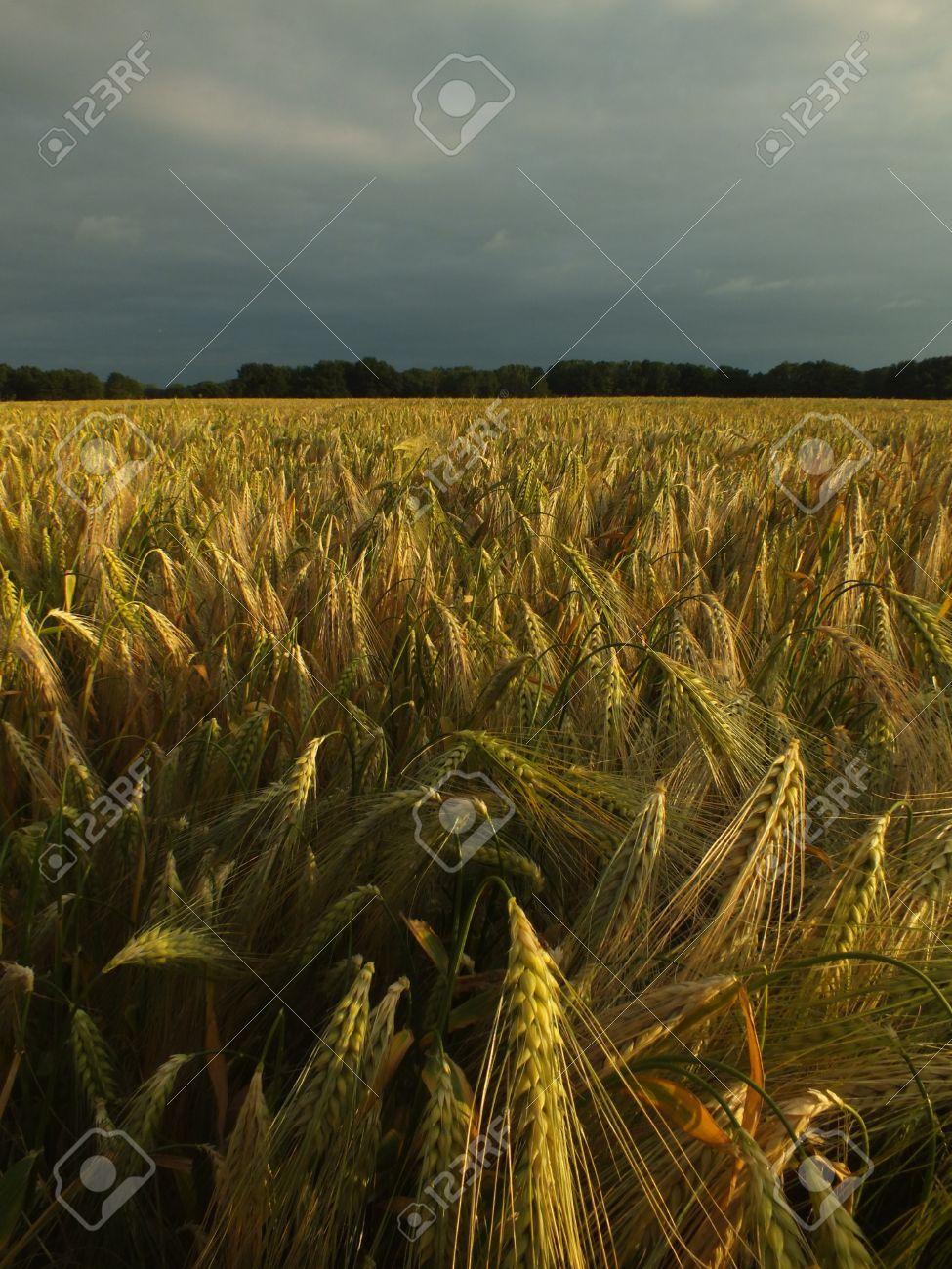 night light in the corn field Stock Photo - 14170727