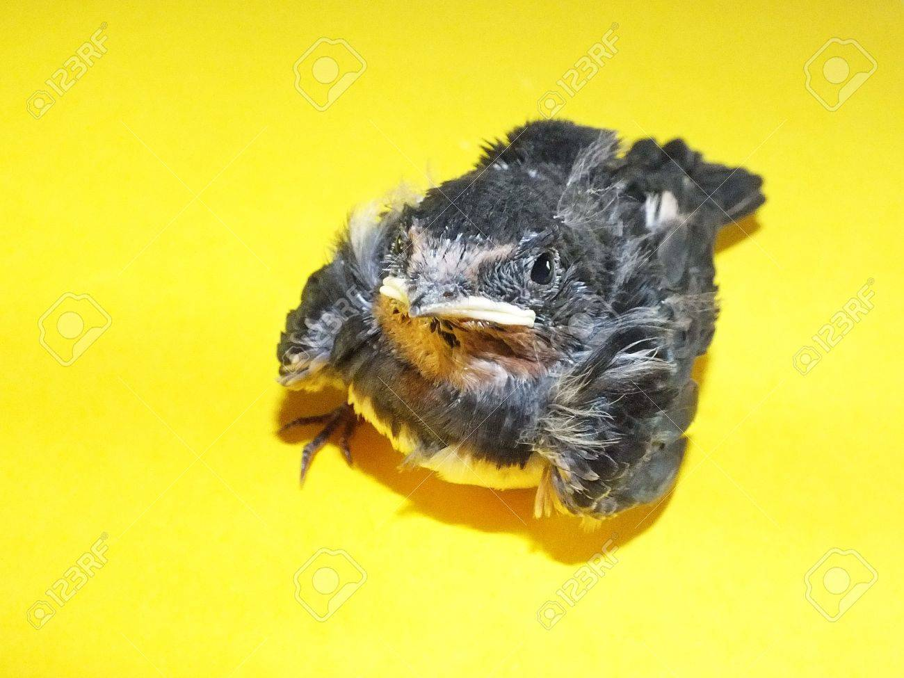 young swallow Stock Photo - 14773806