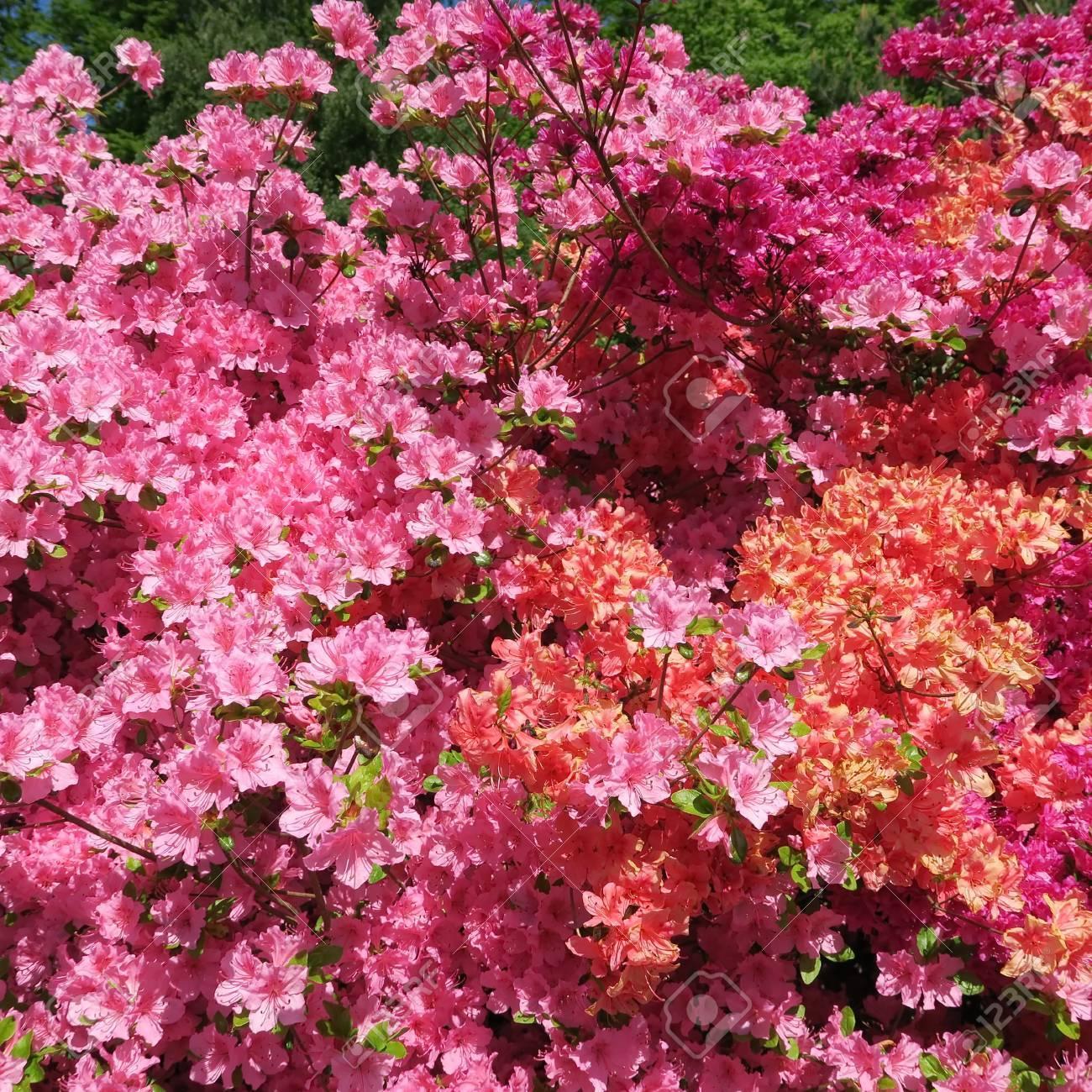 Geräumig Blumen Mai Dekoration Von Standard-bild - Viele Bunte Blühen Im Von