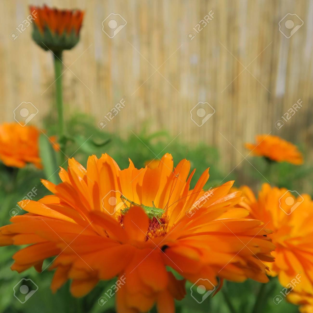 Calendula. Useful properties of yellow flowers 51