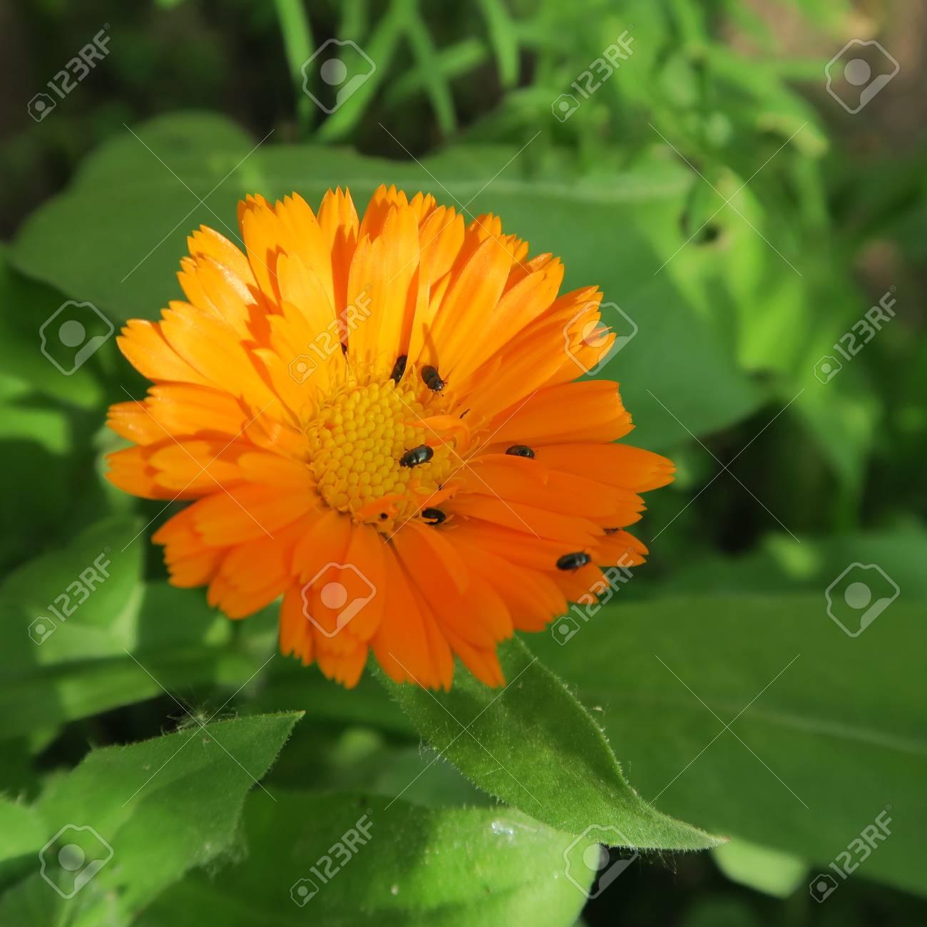 Calendula. Useful properties of yellow flowers 47