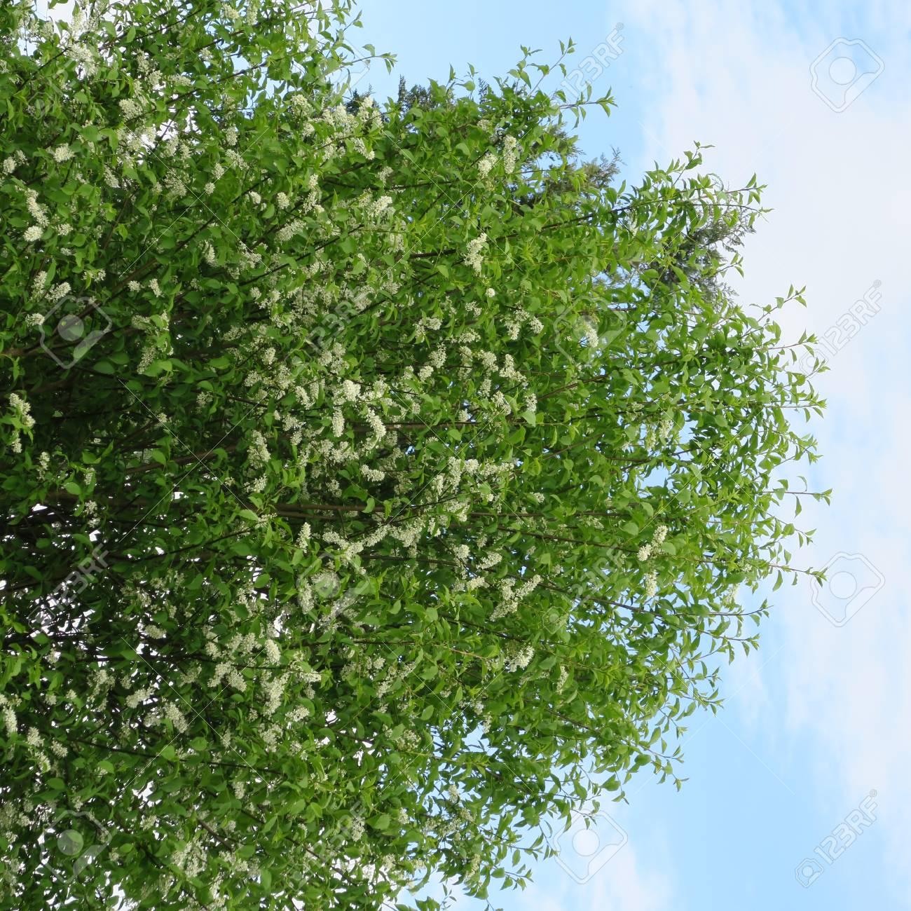 Prunus Paduswhite Flowering Tree To The Smells Of Honey In Spring