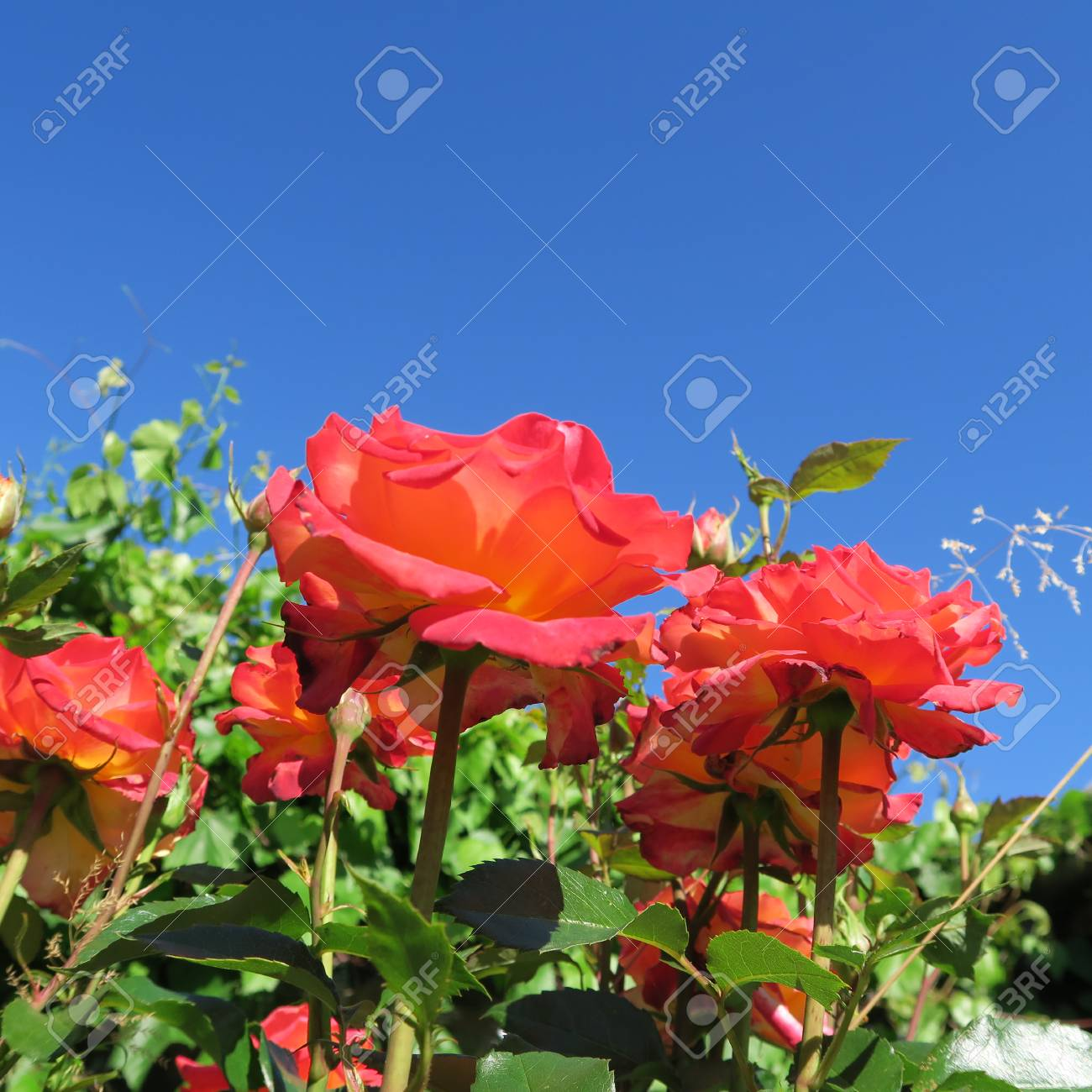 Beautiful Roses Outside Of A Cottage Garden In Summer Stock Photo