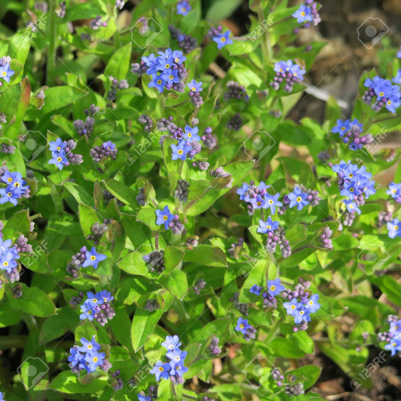 Forget Me Myosotis Starts To Bloom In The May A Small Blue Stock