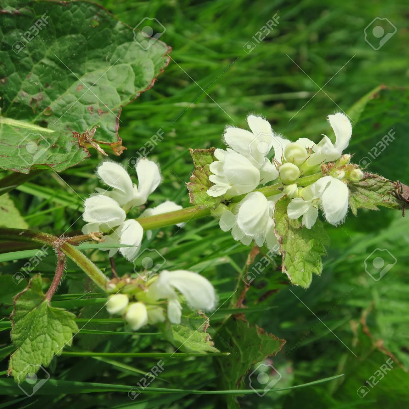 Lamium Con Pequenas Flores Blancas Una Col Silvestre Comestible