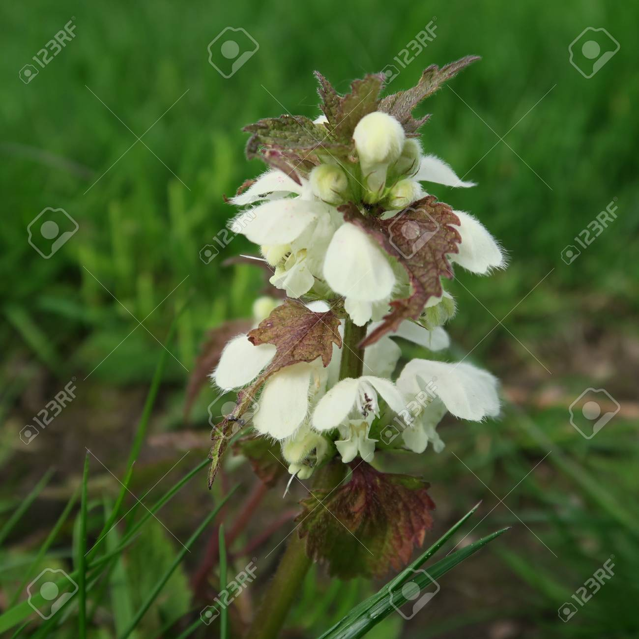 Lamium with white small flowers an edible wild cabbage also with white small flowers an edible wild cabbage also suitable for modern mightylinksfo