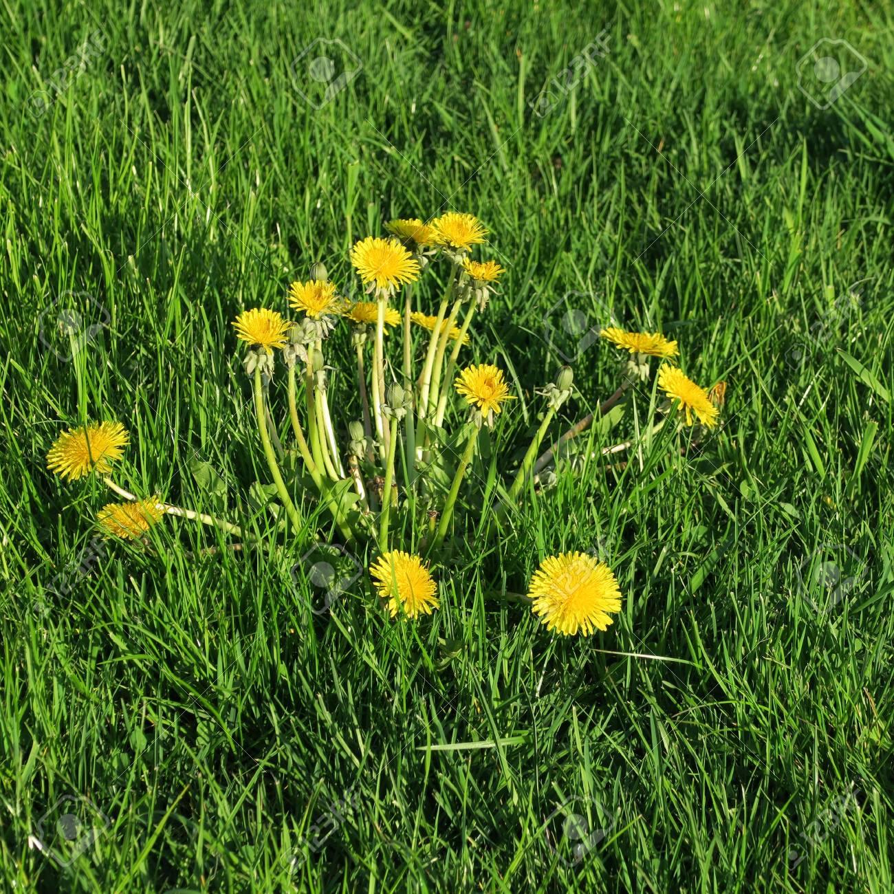 Taraxacum Sect Ruderalia Yellow Flowering Plant Butter Flower