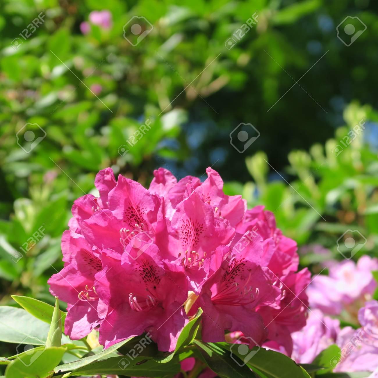Beautiful big purple flowers on a rhododendron shrub in the spring beautiful big purple flowers on a rhododendron shrub in the spring stock photo 101878314 mightylinksfo