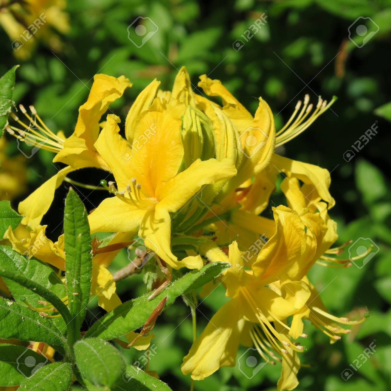 Many Small Yellow Rhododendron Flowers On A Large Shrub Stock