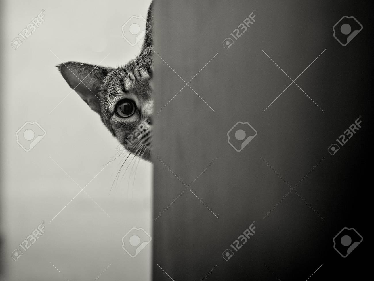 Savanah Cat Peeking Around Corner Stock Photo, Picture And Royalty ...