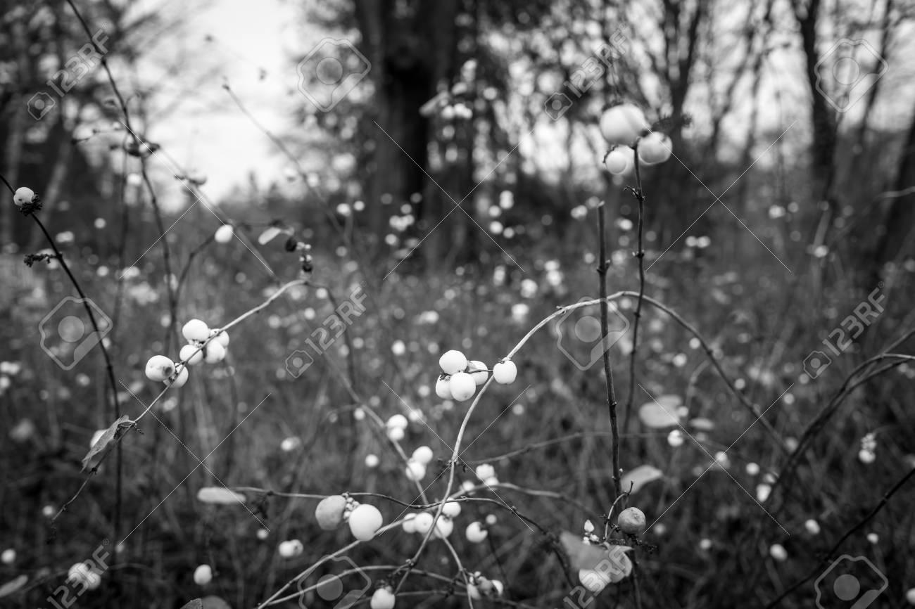 White berry in Frankfurt Gruenburgpark Standard-Bild - 91464775