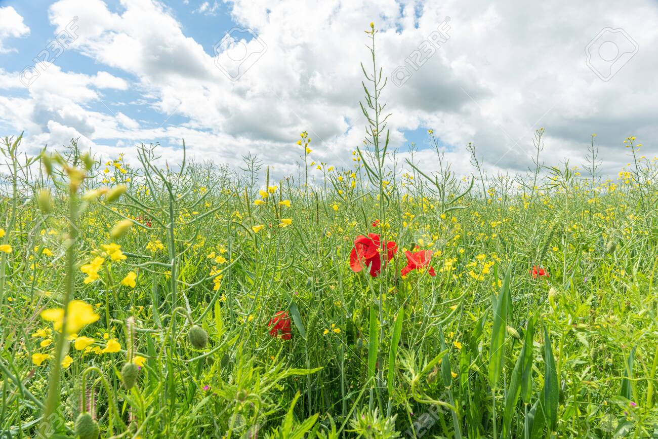 red poppies in green sunny meadow - 143585439