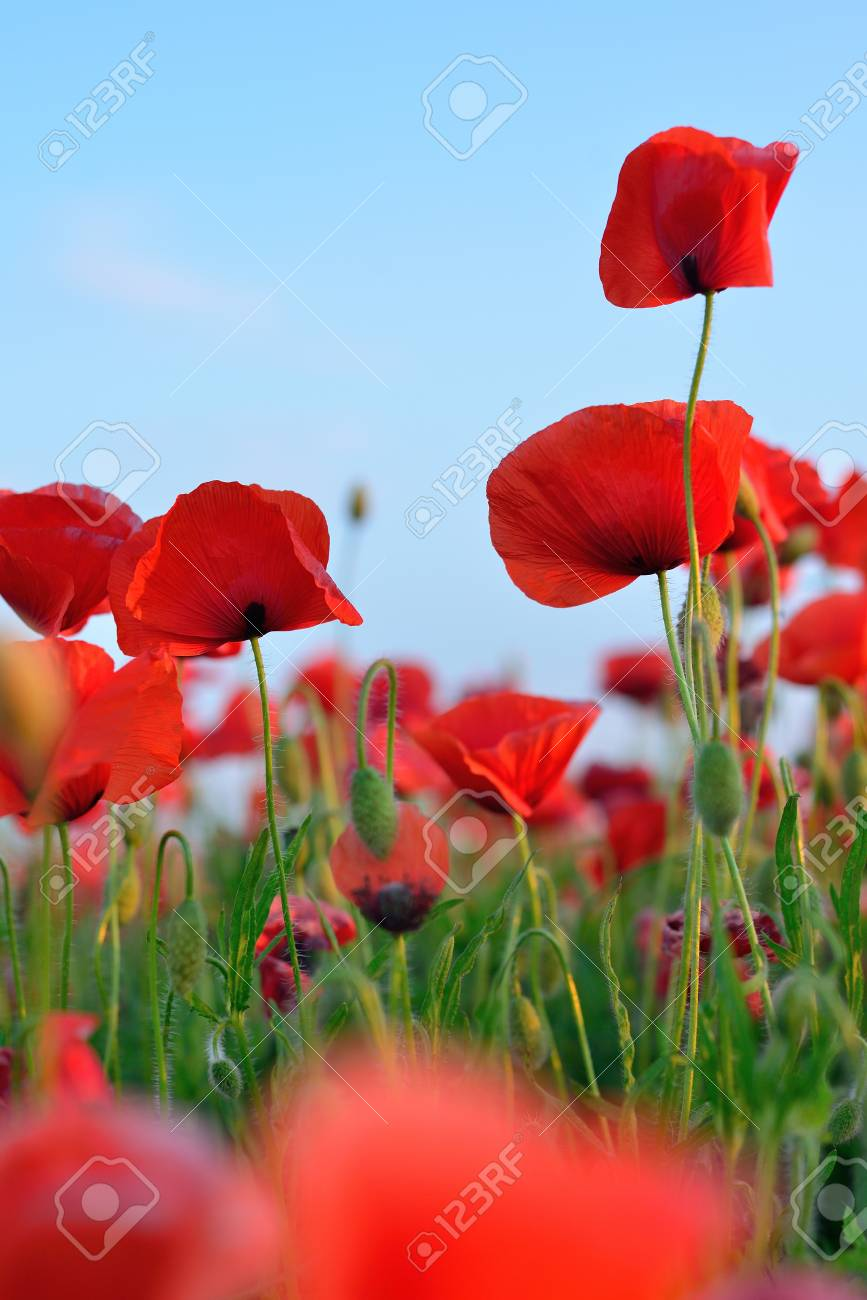 Flowers Red Poppies Flower Field Blue Sky Close Up Of A Flower