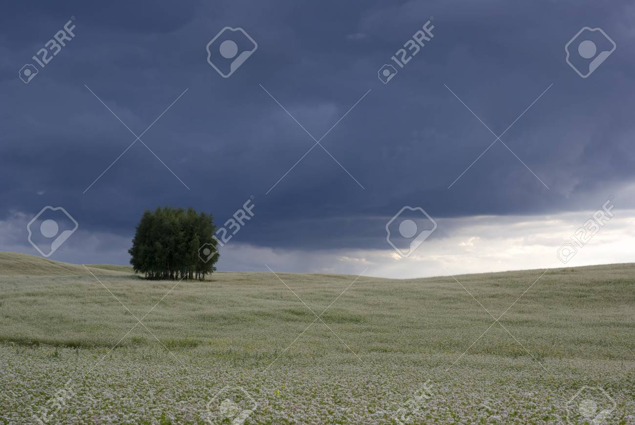 Field of buckwheat and group of trees on the horizon. aRGB. Stock Photo - 4932279