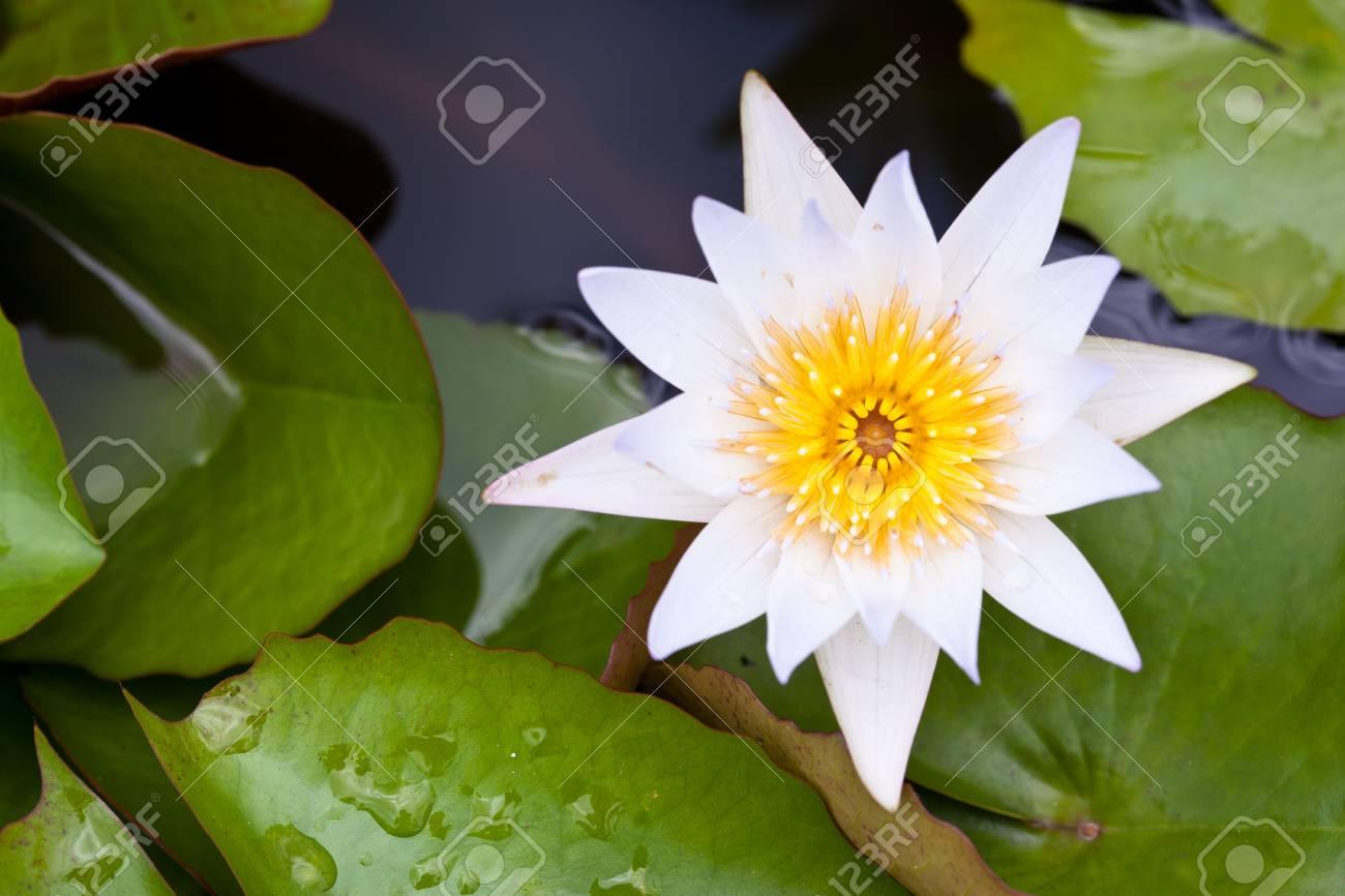 White Lotus in the garden Stock Photo - 9924785