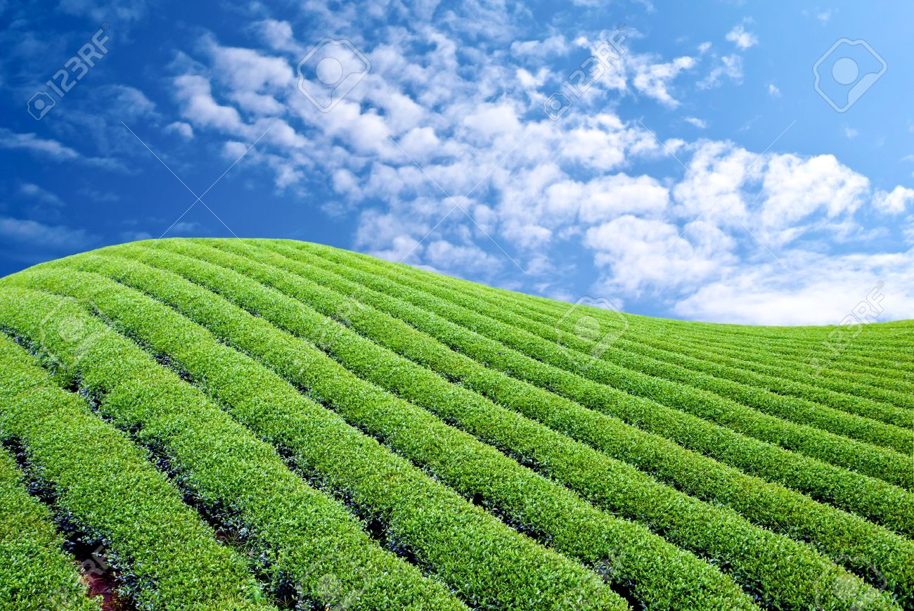 Green Tea Farm With Blue Sky Background Stock Photo, Picture And ...