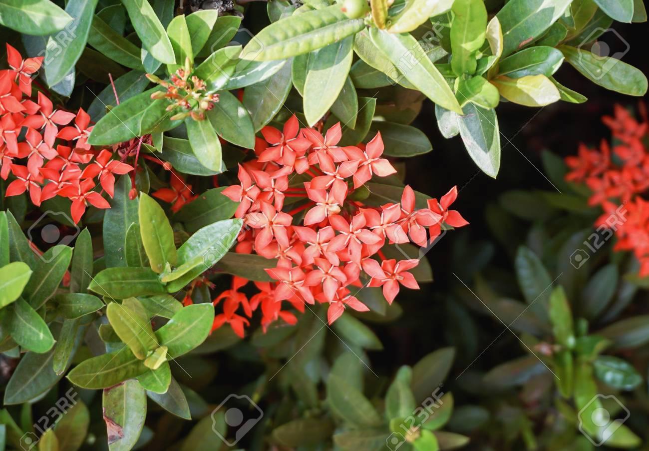 Red west indian jasmine ixora flower in garden with selective red west indian jasmine ixora flower in garden with selective focus stock photo izmirmasajfo