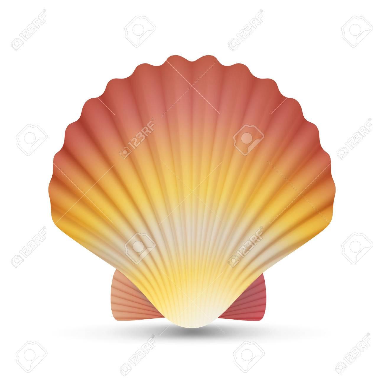 ホタテの貝殻のベクトルリアルなホタテ シェル ホワイト バック
