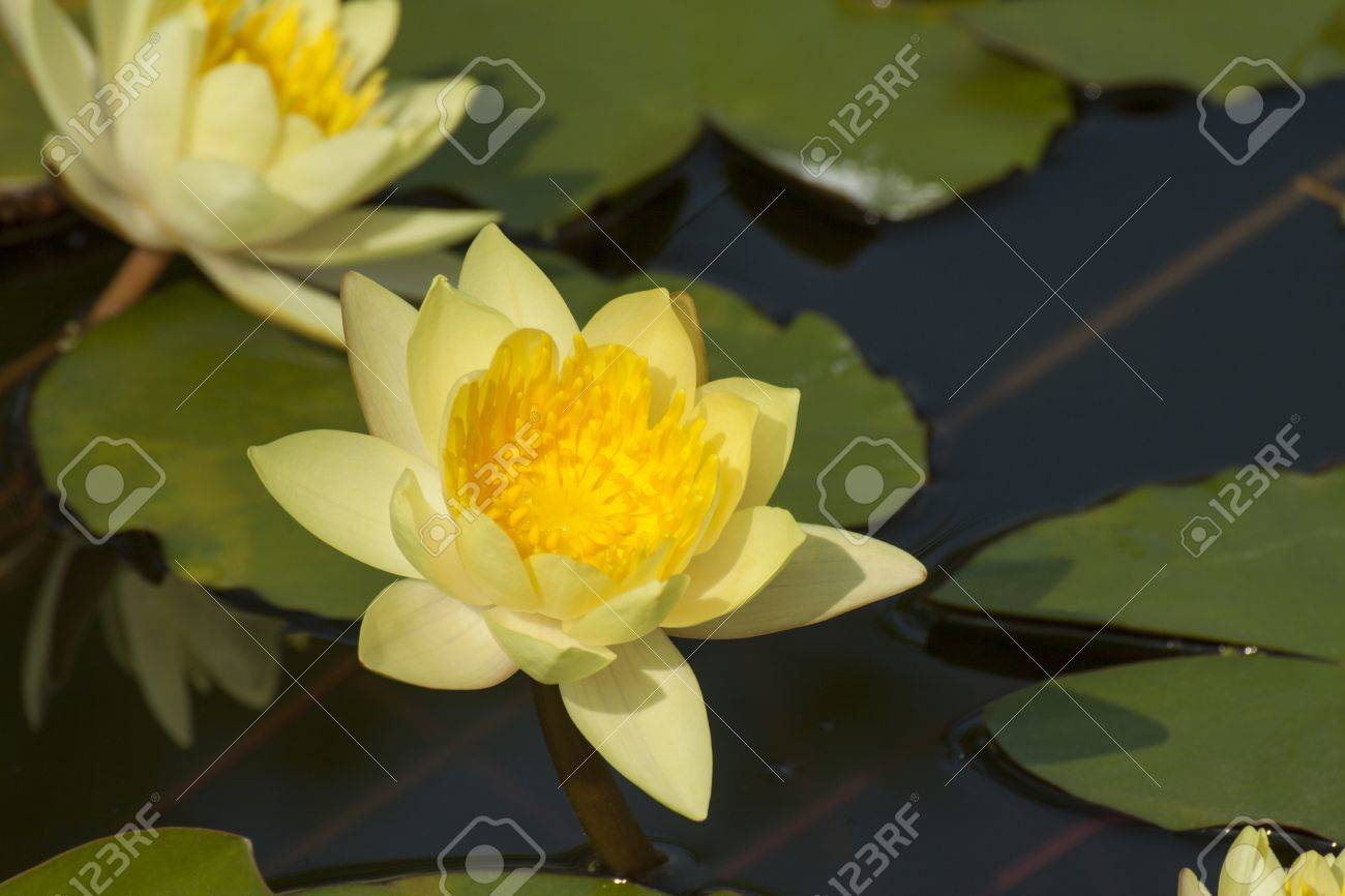Lotus Flower Yellow Color In The Pond Stock Photo Picture And